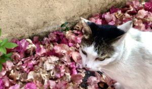 愛吃花的貓